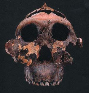 File:Australopithecus anamensis.png