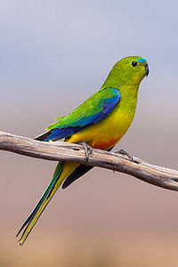 Orange bellied parrot.jpg