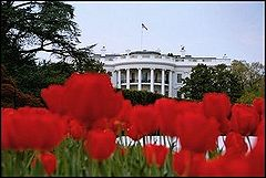 Tulips White House.jpg