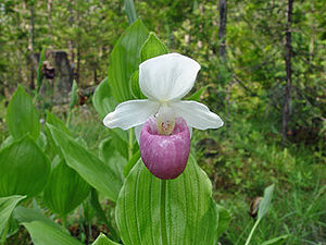 Pink and white ladys slipper conservapedia the pink and white ladys slipper cypripedium reginae was adopted as the minnesota state flower in 1902 it is also sometimes known as the showy ladys mightylinksfo