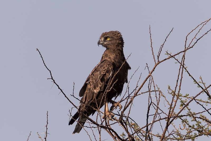 File:Brown snake eagle.jpg