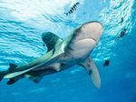 Oceanic whitetip shark at Elphinstone Reef.jpg