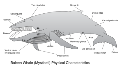 800px-Baleen Whale Physical Characteristics svg.png
