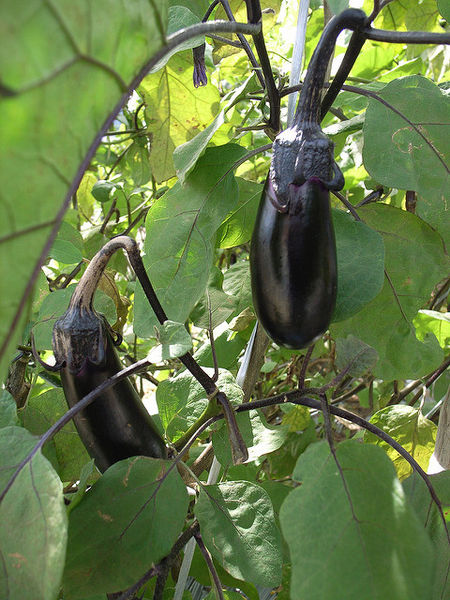 File:Eggplant growing.jpg
