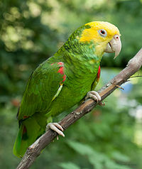 Yellow head amazon.jpg