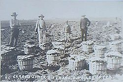 Mexican American field workers picking carrots in the Rio Grande Valley, about 1905