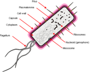 Bacterial cell.png