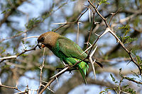 Brown-headed parrot.jpg
