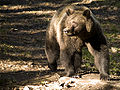 Brown bear1.jpg