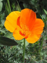 State flowers conservapedia californias state flower the golden poppy mightylinksfo