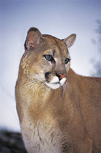 Wildlife mtn lion.jpg