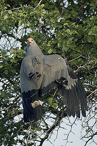 African harrier hawk.jpg