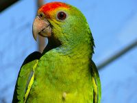 Red-browed Amazon parrot.jpg